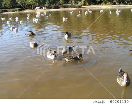 稲毛海浜公園の池に毎年来ている渡り鳥のオナガガモ 60201150