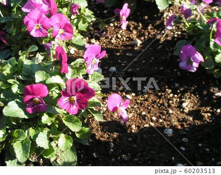 三陽メデアフラワーミュージアムの紫色の花のビヲラ 60203513