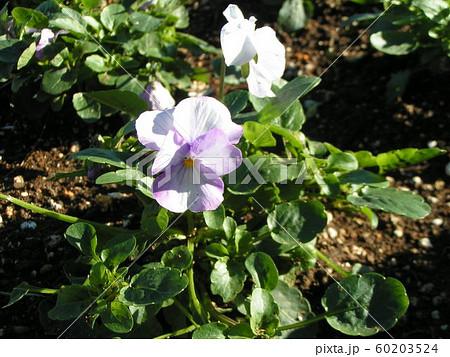 三陽メデアフラワーミュージアムの空色の花のビヲラ 60203524