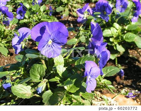 三陽メデアフラワーミュージアムの青色の花のビヲラ 60203772