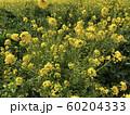 菜の花 60204333