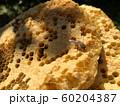 ニホンミツバチと蜂の巣 60204387