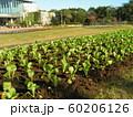 三陽メデアフラワーミュージアムの前庭に植えられた菜花の苗 60206126