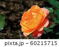 バラの花 60215715