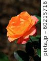 バラの花 60215716