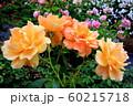 バラの花 60215718