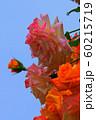 バラの花 60215719