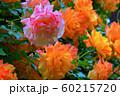 バラの花 60215720