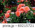 バラの花 60215721