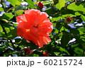 バラの花 60215724