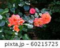 バラの花 60215725