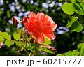 バラの花 60215727