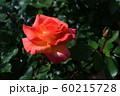 バラの花 60215728