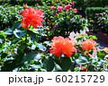 バラの花 60215729