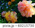 バラの花 60215730