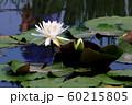 蓮の花 60215805