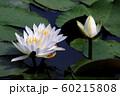 蓮の花 60215808
