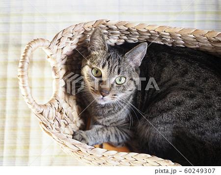 カゴに入って見上げる猫 60249307