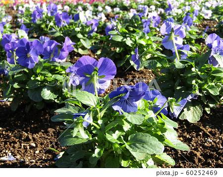 三陽メデアフラワーミュージアム年越しの花青色のビオラ 60252469