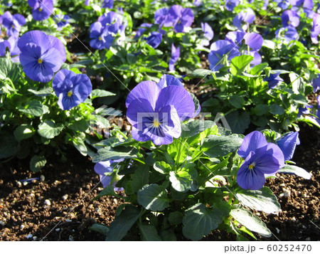 三陽メデアフラワーミュージアム年越しの花青色のビオラ 60252470