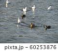 花見川河口のバンと渡り鳥のヒドリガモとユリカモメ 60253876