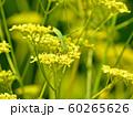 オミナエシの花の上でくつろぐカマキリ 60265626