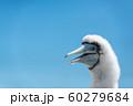 カツオドリのヒナ 60279684