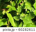 検見川浜の湖岸に育つツルナの黄色い小さな花 60282611
