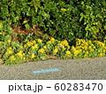 黄色い綺麗なイソギクの花 60283470
