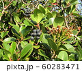 シャリンバイの黒紫色に熟した実 60283471