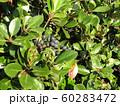 シャリンバイの黒紫色に熟した実 60283472