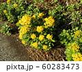 黄色い綺麗なイソギクの花 60283473