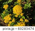 黄色い綺麗なイソギクの花 60283474