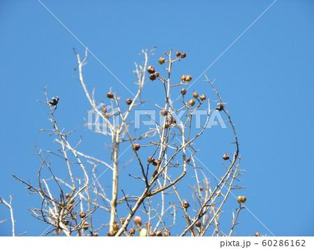暑い夏の定番の花サルスベリの完熟した実 60286162