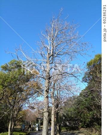 アメリカフウの大木にイガイガの実が残っています 60286291
