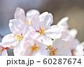 春の風景 桜の花 60287674
