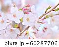 春の風景 桜の花 60287706