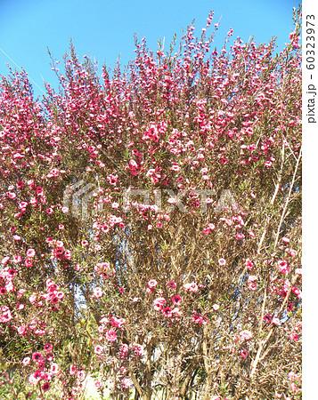 桃色の可愛い花はギョリュウバイ 60323973