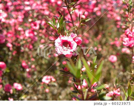桃色の可愛い花はギョリュウバイ 60323975