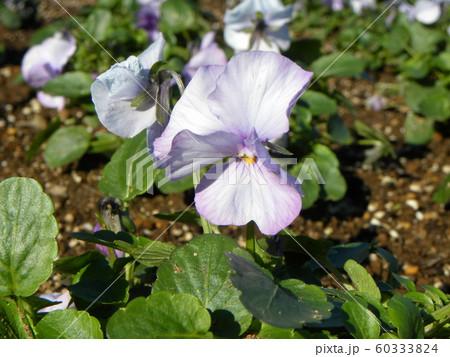 三陽メデアフラワーミュージアム年越しの花紫色のビオラ  60333824