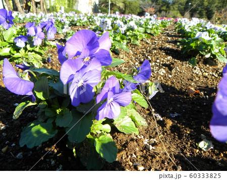 三陽メデアフラワーミュージアム年越しの花青色のビオラ  60333825
