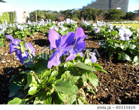 三陽メデアフラワーミュージアム年越しの花青色のビオラ  60333826