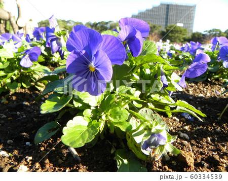 三陽メデアフラワーミュージアム年越しの花紫色のビオラ  60334539