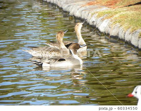 稲毛海浜公園の池に来た冬の渡り鳥オナガガモ 60334550