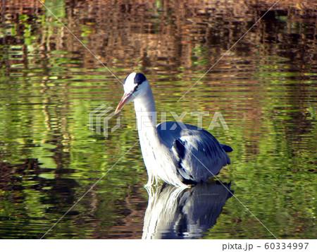 稲毛海浜公園の池で獲物を狙うアオサギ 60334997