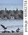 エゾシカの亡骸に群れるオオワシとカラス(北海道) 60362758