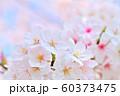 春の花 桜 60373475