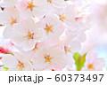 春の花 桜 60373497