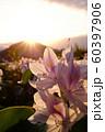 日の入りとホテイアオイ 60397906