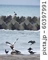 エゾシカの亡骸に群れるオオワシとカラス(北海道) 60397991